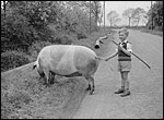 Newton Road - Court Estate. One of the Strickland boys driving a pig in the 1950s